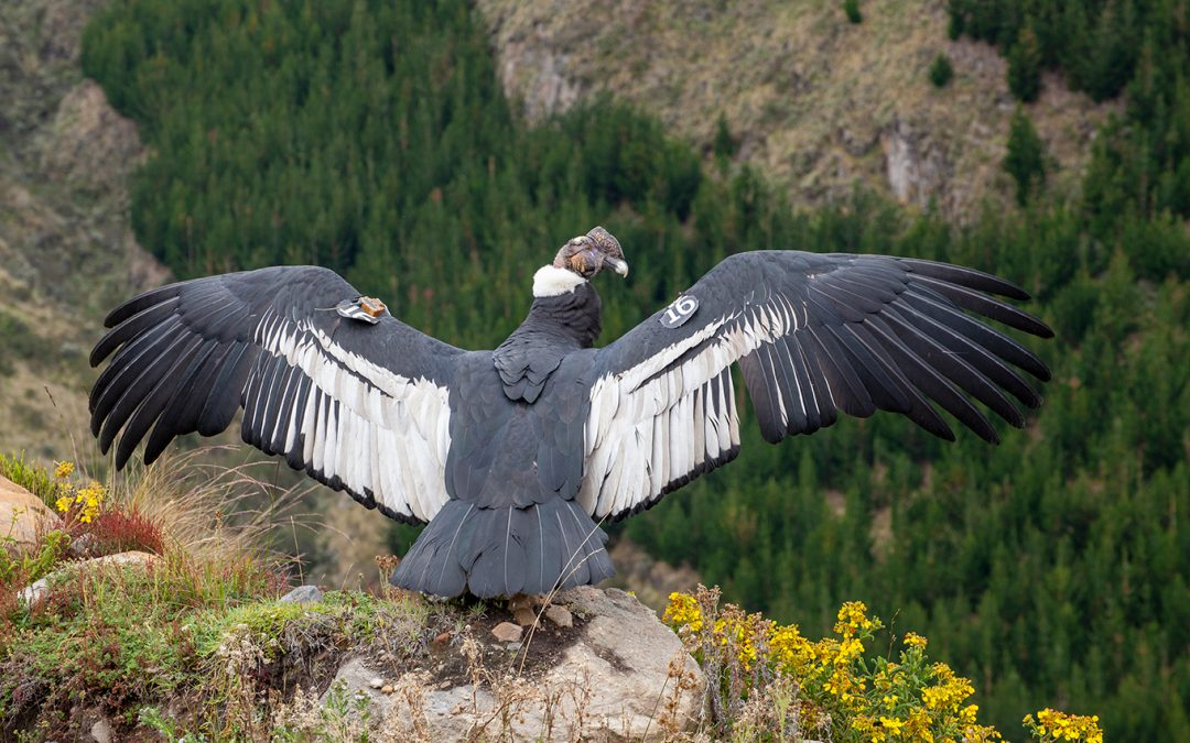 El Condor Iguiñaro, fue liberado por el Zoo de Quito y ya recorre los páramos andinos
