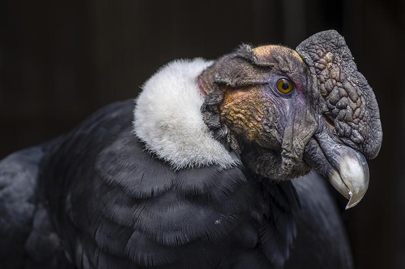 Condor Silvestre fue rescatado y se mantiene con pronóstico reservado