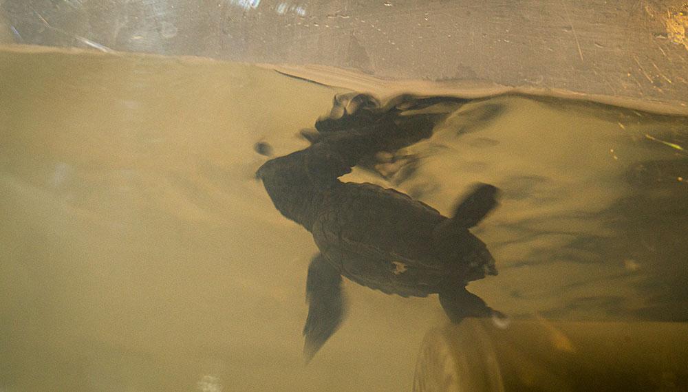 El Zoo salvó a tortugas marinas que fueron extraídas de su hábitat