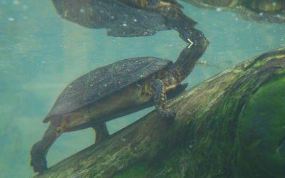 Las Tortugas No Somos Mascotas: una iniciativa para visibilizar la problemática del tráfico y mascotización de tortugas