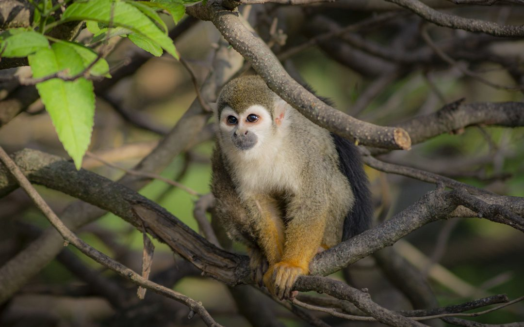 Mono saimiri en árbol