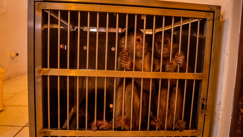 monos capuchinos en jaula