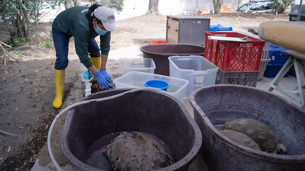 zoocuidadora limpiando caparazón de tortuga